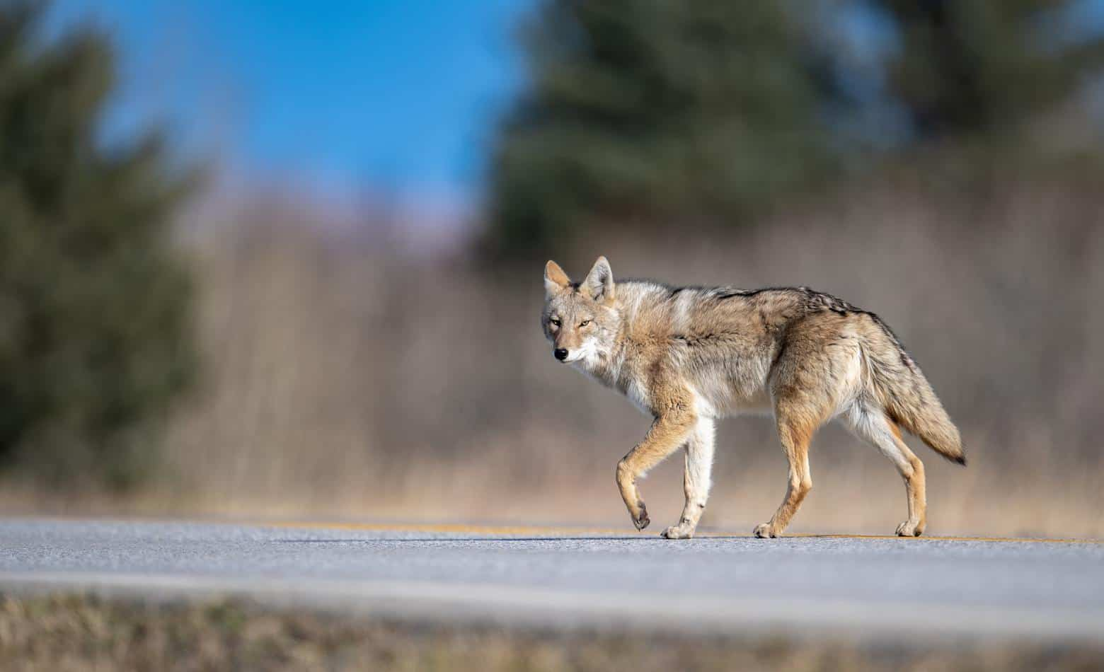 Coyote in Canada
