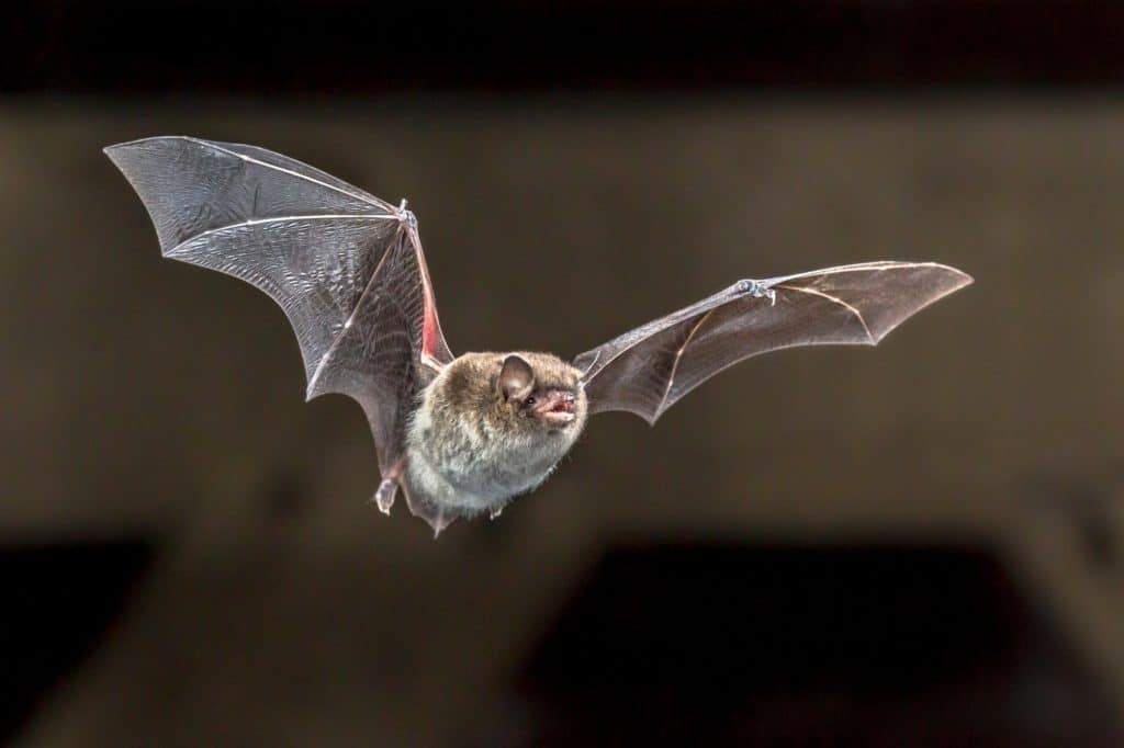 Flying Daubentons bat