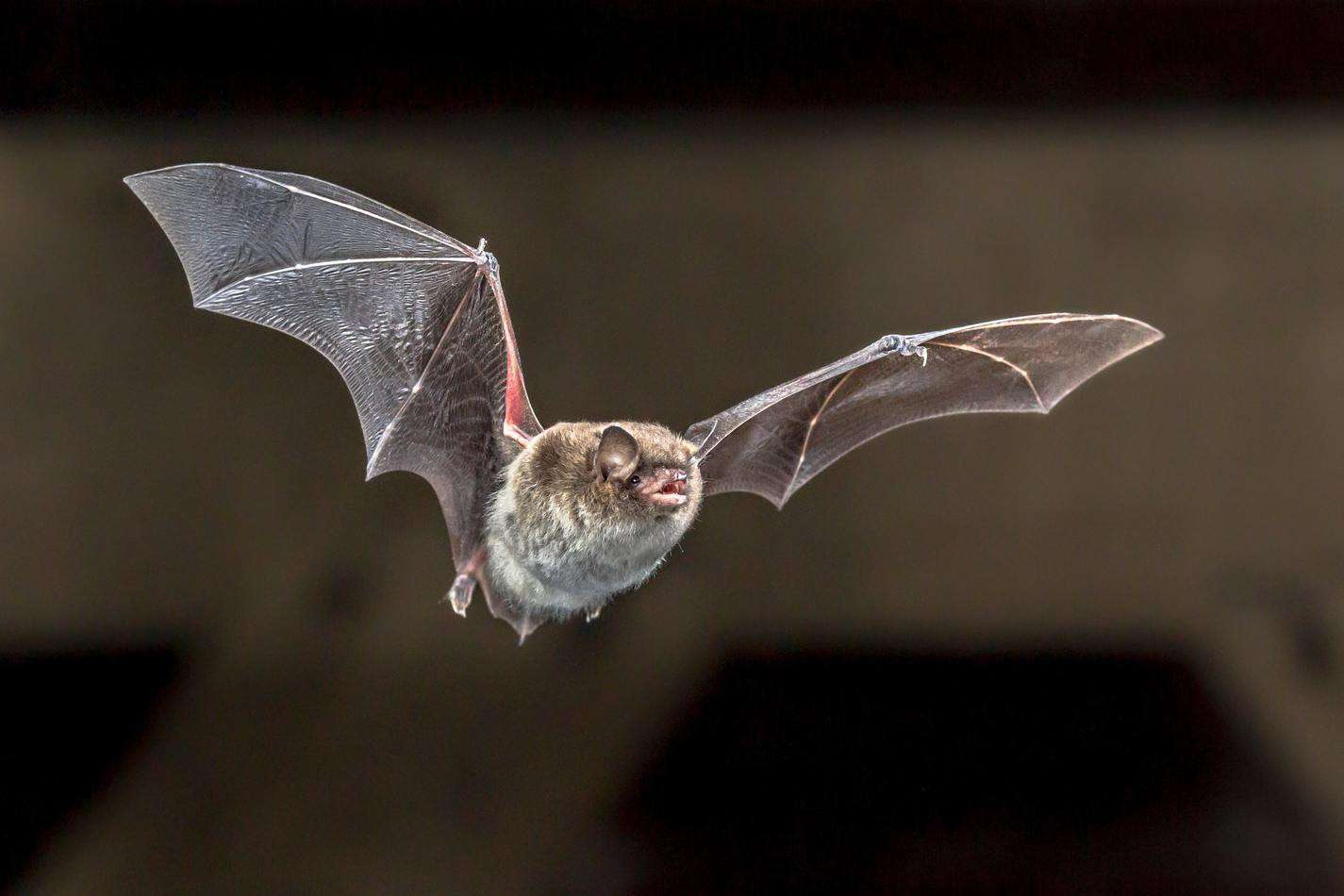 Flying Daubentons bat