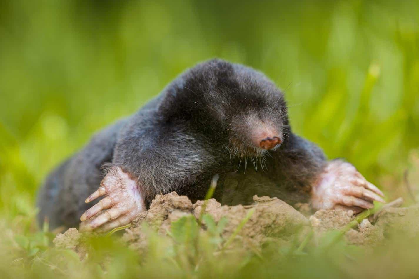 Wild Mole (Talpa europaea) in Natural Habitat