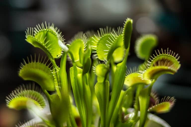 A close-up of a bunch of Venus Fly Trap heads