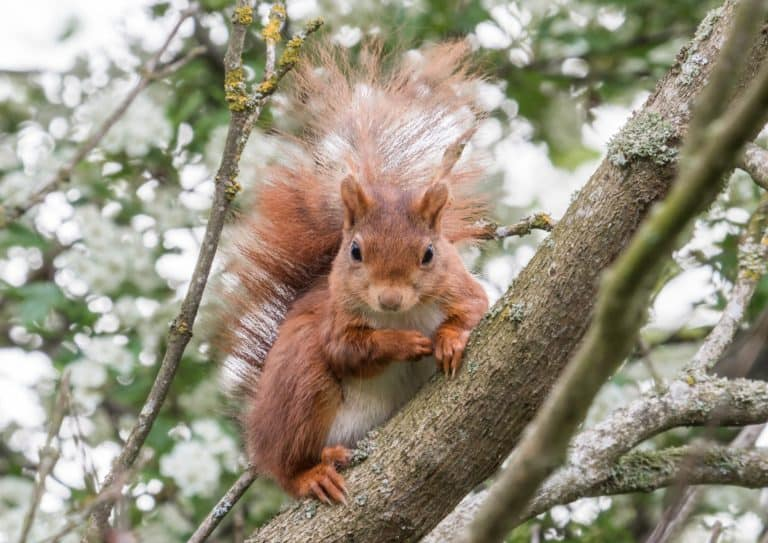 Cute portrait of a European Red Squirrel sitting on a branch and looking directly at the camera