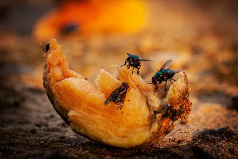 Fruit Flies are eating rotten fruit on the ground.