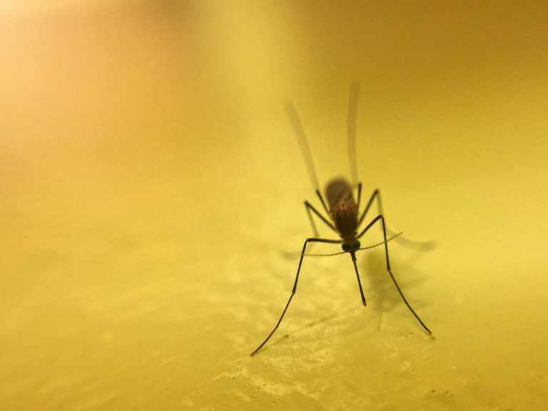 Mosquito close up with shades of yellow background