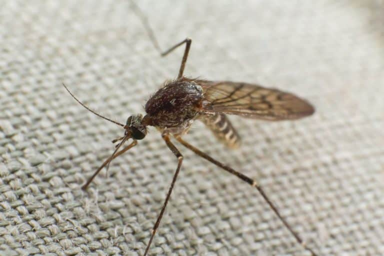 Mosquito trying to bite through cloth