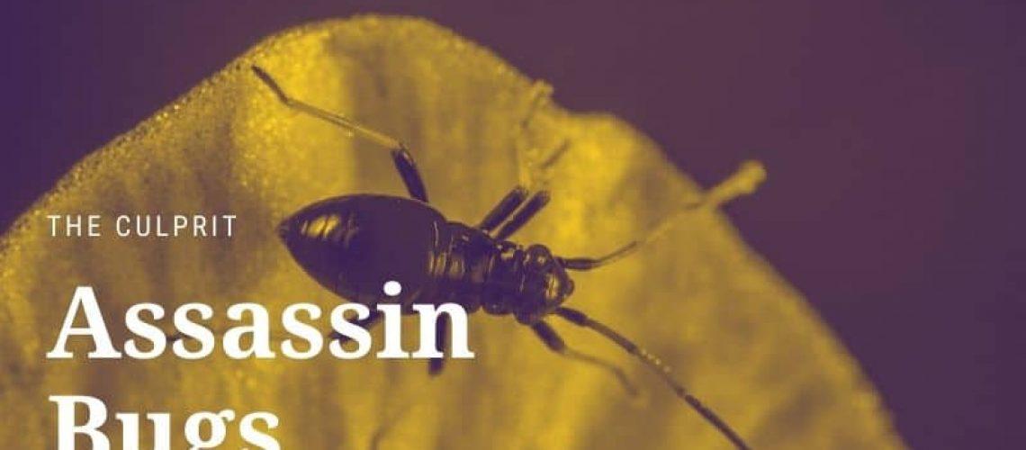 Assassin Bugs