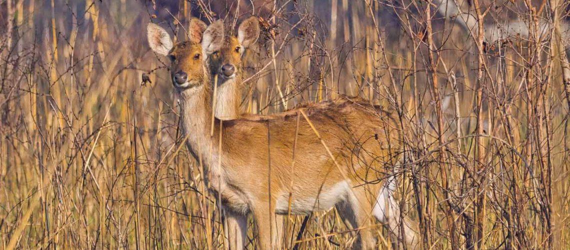 Swamp Deer, Royal Bardia National Park, Nepal